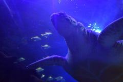 Θαλάσσιο ενυδρείο χελωνών θάλασσας Στοκ Εικόνες