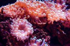 Θαλάσσιο ζωής gigantea Condylactis anemone θάλασσας ρόδινο υποβρύχιο στη θάλασσα ενάντια ανασκόπησης μπλε σύννεφων πεδίων άσπρο σ Στοκ φωτογραφίες με δικαίωμα ελεύθερης χρήσης