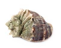 Θαλάσσιο θαλασσινό κοχύλι που απομονώνεται στο άσπρο υπόβαθρο Στοκ φωτογραφία με δικαίωμα ελεύθερης χρήσης