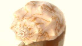 Θαλάσσιο κοχύλι θάλασσας που απομονώνεται στο λευκό, περιστροφή απόθεμα βίντεο