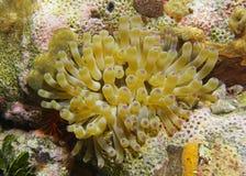 Θαλάσσιο anemone θάλασσας ζωής γιγαντιαίο καραϊβικό υποβρύχιο Στοκ Εικόνες