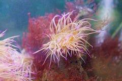 Θαλάσσιο anemone Στοκ φωτογραφία με δικαίωμα ελεύθερης χρήσης