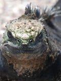 Θαλάσσιο Iguana Στοκ φωτογραφία με δικαίωμα ελεύθερης χρήσης