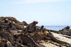 Θαλάσσιο Iguana Στοκ φωτογραφίες με δικαίωμα ελεύθερης χρήσης