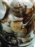 θαλασσινά κοχύλια βάζων &gamma Στοκ Εικόνες