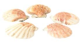θαλασσινά κοχύλια που τίθενται Στοκ Εικόνες