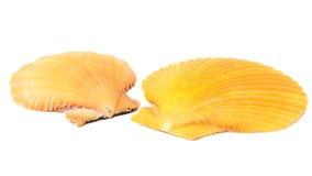 θαλασσινά κοχύλια που τίθενται Στοκ Φωτογραφία