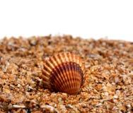 θαλασσινό κοχύλι άμμου Στοκ Εικόνα
