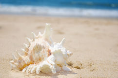 Θαλασσινό κοχύλι σε μια παραλία Στοκ φωτογραφία με δικαίωμα ελεύθερης χρήσης