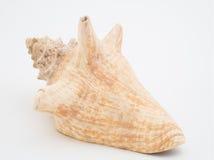 Θαλασσινό κοχύλι στην άσπρη ανασκόπηση Στοκ φωτογραφία με δικαίωμα ελεύθερης χρήσης