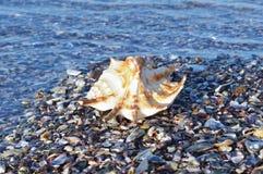 Θαλασσινό κοχύλι στην παραλία Στοκ Φωτογραφίες
