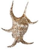 Θαλασσινό κοχύλι Conch Στοκ Εικόνα
