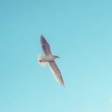 Θαλασσοπούλι κατά την πτήση Στοκ εικόνα με δικαίωμα ελεύθερης χρήσης