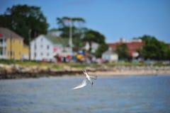 Θαλασσοπούλι κατάδυσης στο κόλπο Chesapeake Στοκ φωτογραφίες με δικαίωμα ελεύθερης χρήσης