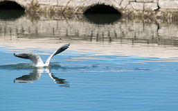 Θαλασσοπούλι στο νερό Στοκ Εικόνες