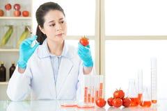 Θα βρείτε την ένδειξη σε αυτήν την γενετική ντομάτα τροποποίησης Στοκ Φωτογραφίες