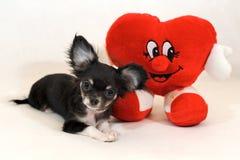 Θεά της χαράς & της αγάπης - μικροσκοπικό κουτάβι Chihuhua με την καρδιά βαλεντίνων Στοκ Φωτογραφίες