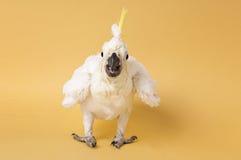 Θείο λοφιοφόρο Cockatoo μωρών που απομονώνεται σε κίτρινο Στοκ φωτογραφία με δικαίωμα ελεύθερης χρήσης