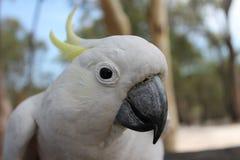 Θείο λοφιοφόρο Cockatoo Στοκ Φωτογραφία