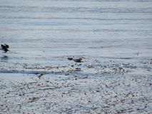 Θεαματική άποψη των παπιών που κολυμπούν σε Usuahia Αργεντινή στοκ φωτογραφίες με δικαίωμα ελεύθερης χρήσης
