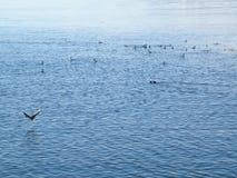 Θεαματική άποψη των παπιών που κολυμπούν σε Usuahia Αργεντινή στοκ φωτογραφία