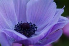 Θεαματική ευμετάβλητη κινηματογράφηση σε πρώτο πλάνο ενός πορφυρού λουλουδιού Anemone στοκ φωτογραφία με δικαίωμα ελεύθερης χρήσης
