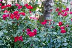 θειικό άλας χαλκού στα πράσινα φύλλα των ροδαλών φυτών Στοκ εικόνες με δικαίωμα ελεύθερης χρήσης