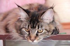 Θεοδώρα, η γάτα Στοκ Εικόνες