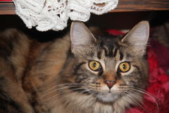 Θεοδώρα, η γάτα Στοκ Φωτογραφία