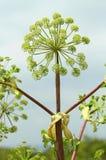 Θεραπευτικά officinalis Archangelica Στοκ φωτογραφία με δικαίωμα ελεύθερης χρήσης