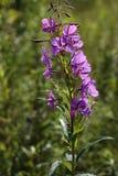 Θεραπεύοντας άνθιση Sally εγκαταστάσεων με τα φωτεινά πορφυρά λουλούδια Στοκ εικόνα με δικαίωμα ελεύθερης χρήσης