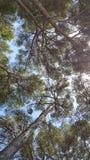 Θερινά δέντρα της Μαγιόρκα Formentor Στοκ Εικόνα