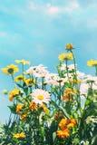 Θερινά λουλούδια ενάντια σε έναν μπλε ουρανό Στοκ Εικόνα