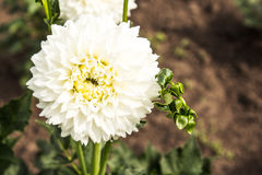 Θερινά λουλούδια στον κήπο Στοκ Εικόνα