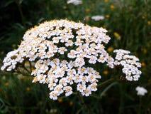 Θερινά λουλούδια της Νίκαιας Στοκ φωτογραφίες με δικαίωμα ελεύθερης χρήσης