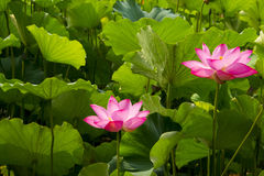 Θερινά λουλούδια, λωτός, Στοκ φωτογραφία με δικαίωμα ελεύθερης χρήσης