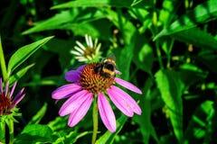 Θερινά ρόδινα ιατρικά λουλούδια Echinacea, πράσινα φύλλα και χορτάρια, και bumblebee Στοκ φωτογραφία με δικαίωμα ελεύθερης χρήσης