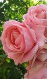 Θερινά ρόδινα τριαντάφυλλα Στοκ φωτογραφία με δικαίωμα ελεύθερης χρήσης