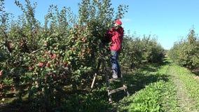 Θερινά φρούτα συγκομιδών κοριτσιών γυναικών κηπουρών δέντρων της Apple στη σκάλα ανάβασης 4K απόθεμα βίντεο
