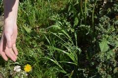 Θερινές εργασίες στον κήπο Βοτάνισμα των ζιζανίων στοκ εικόνα με δικαίωμα ελεύθερης χρήσης