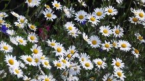 Θερινές μαργαρίτες που φυσούν στον ευγενή αέρα αερακιού φιλμ μικρού μήκους