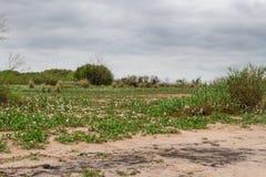 Θερινές τοπίο και θύελλα στην παραλία και το λευκό που ανθίζουν camalotes στην πόλη της ομοσπονδίας, επαρχία Entre Rios, Αργεντιν Στοκ Φωτογραφία
