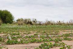 Θερινές τοπίο και θύελλα στην παραλία και το λευκό που ανθίζουν camalotes στην πόλη της ομοσπονδίας, επαρχία Entre Rios, Αργεντιν Στοκ φωτογραφία με δικαίωμα ελεύθερης χρήσης