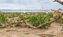 Θερινές τοπίο και θύελλα στην παραλία και το λευκό που ανθίζουν camalotes στην πόλη της ομοσπονδίας, επαρχία Entre Rios, Αργεντιν Στοκ εικόνα με δικαίωμα ελεύθερης χρήσης