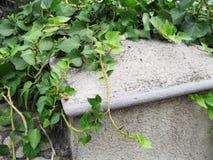 Θερινή ανασκόπηση Πράσινος κισσός στον παλαιό γκρίζο τοίχο στοκ εικόνες με δικαίωμα ελεύθερης χρήσης