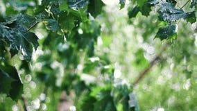 Θερινή βροχή μεταξύ των δέντρων σφενδάμνου απόθεμα βίντεο