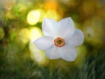 Θερινή ημέρα με το daffodil Στοκ Εικόνες