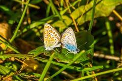 Θερινή ημέρα, πεταλούδες που ζευγαρώνει στο λιβάδι στοκ εικόνα