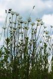Θερινή θυελλώδης ημέρα μετά από τη βροχή, ένας θλιβερός ουρανός Όμορφα άσπρα camomiles ενάντια στο σκούρο μπλε ουρανό με τα σύννε Στοκ φωτογραφία με δικαίωμα ελεύθερης χρήσης