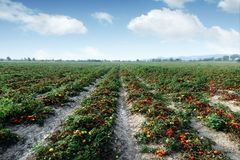 θερινή ντομάτα πεδίων ημέρα&sigma στοκ εικόνα